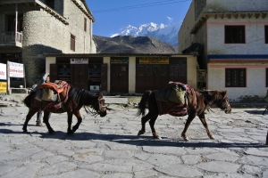 Jomsom- an expedition just coming through town